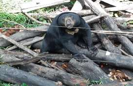 Butuh Anggaran Besar untuk Beruang Madu, Kontribusi Pemda Balikpapan Menipis