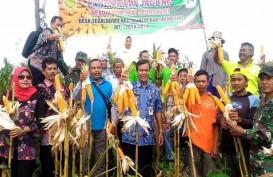 Panen Raya, Petani Rembang Berharap Tak Ada Impor Jagung