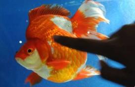 BISNIS PERIKANAN : Budi Daya Ikan Hias Terus Didorong
