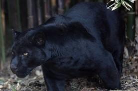 Demi Selfie, Wanita Muda Ini Rela Diserang Jaguar