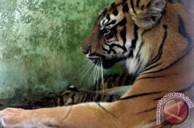 Penjaga Hutan dan Harimau Sama-Sama Terperangkap Jerat…