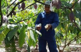 Petani Kakao Dapat Bantuan Ribuan Sambung Pucuk