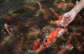 Jukoi : Berdayakan Pemuda Lewat Ikan Koi