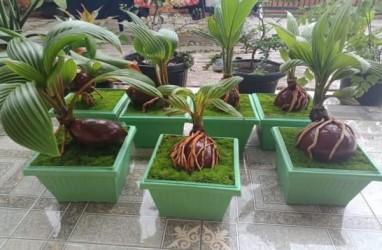 Bonsai Kelapa Akan Masuk Museum Rekor