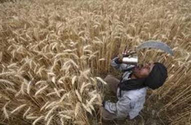 Lindungi Petani Lokal, India Naikkan Tarif Impor Gandum