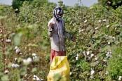 Ekspor Kapas Pantai Gading Diperkirakan Sentuh Rekor Baru