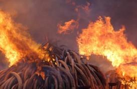Perdagangan Gading Gajah Ilegal Rugikan Negara Rp420 Miliar