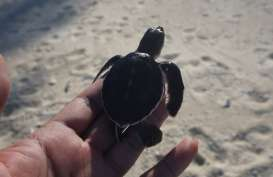 Wisata Konservasi : Menyaksikan Penyu Hijau Bertelur di Pulau Pahat
