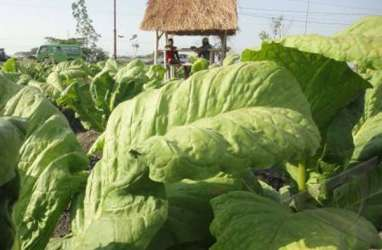 PTPN X Buka Pasar Ekspor Baru Tembakau di 3 Negara