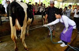 Industri Pengolahan Susu Bangun Mega Farm Dijanjikan Insentif