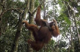 Konservasi Orangutan, Pemprov Kaltim Gandeng Swasta