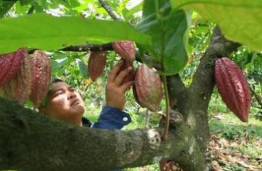 Harga Kakao Dunia Naik Lebih dari 2 Persen