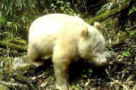 Panda Albino Tertangkap Kamera di Cagar Alam China