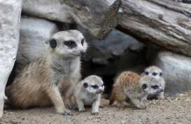 4 Bayi Meerkat Tarik Perhatian Pengunjung Kebun Binatang Thailand