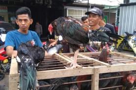 Harga ayam kampung di Makassar melonjak menjelang…