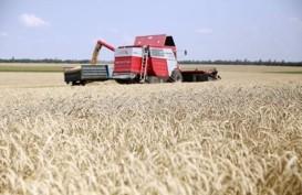 Komoditas Pertanian Berjangka Kompak Menguat, Gandum Juaranya