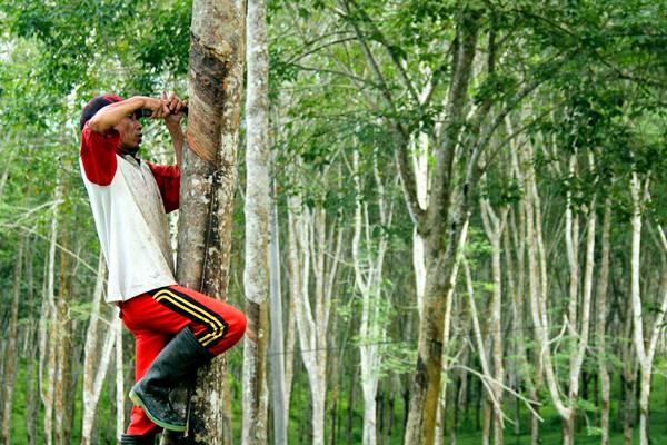 Pekerja menyadap pohon karet di kawasan perkebunan kebun karet. - Antara/Abriawan Abhe