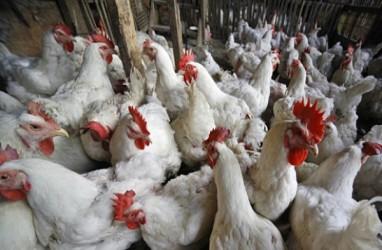 Ekspor Ayam Brasil ke China Tumbuh Hingga 50%