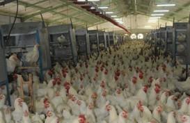 Berharap Harga Ayam Broiler Pulih, Mirae Rekomendasikan Tahan untuk Saham MAIN