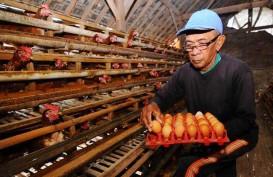 Perang Ayam Indonesia vs Brasil Masih Sengit