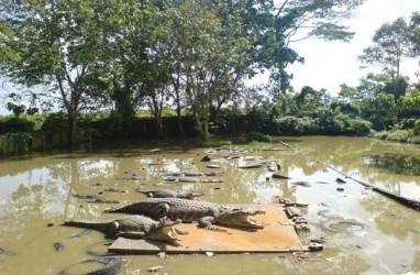 Kemunculan Anak Buaya di Saluran Air Hebohkan Warga