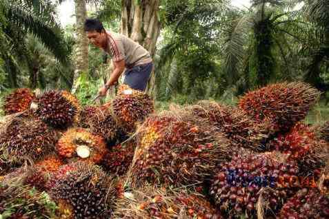 Tandan buah segar - Bisnis.com