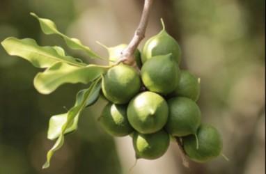 Gubernur Sumut Edy Rahmayadi Ajak Kembangkan Kacang Macadamia