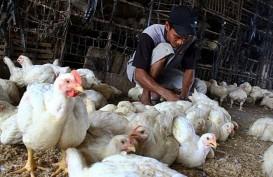 Mentan Janji Sikat Pihak Bermain di Kasus Ayam Pedaging