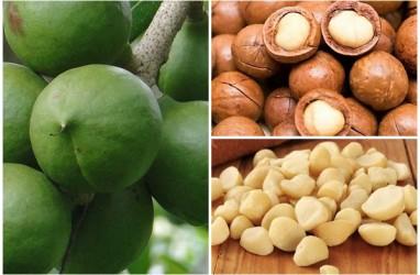KLHK Gunakan Kacang Macadamia untuk Rehabilitasi Lahan