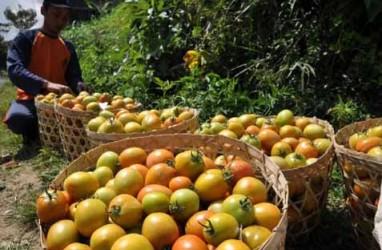 Penurunan Produksi Picu Harga Tomat Naik di Sulut
