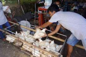 Harga Jagung Buat Peternak Ayam Makin Pusing