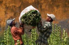Pembatasan Impor Tembakau Ditunda, Kemenperin : Rekomendasi Tak Diperlukan