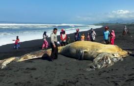 Ikan Paus 11 Meter Terdampar di Lumajang Dikubur