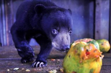 Warga Jambi Hampir Tewas Diterkam 4 Ekor Beruang Madu
