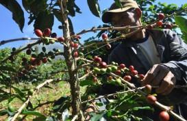 PARIWISATA : Sensasi Menyangrai Biji Kopi di Destinasi Agrowisata Mesastila