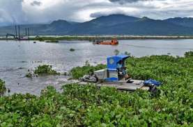 Kenapa Eceng Gondok Tumbuh Subur di Danau Besar? Begini…