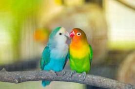 Kementan Gagalkan Penyelundupan Ratusan Burung Lovebird…