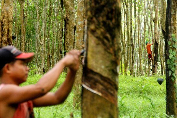 Pekerja menyadap pohon karet di kawasan perkebunan kebun karet Jawi jawi, Kecamatan Bulukumpa, Kabupaten Bulukumba, Sulawesi Selatan, Senin (20/3). - Antara/Abriawan Abhe