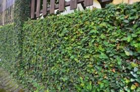 Tanaman Dolar Bisa Menjadi Pilihan Mengisi Green Roof