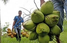 Petani Minta Ekspor Kelapa Bulat Tak Dibatasi