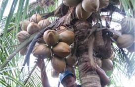 Potensi Nilai Produksi Kelapa Indonesia di Atas Rp50 Triliun