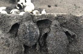 Induk Penyu Makin Menjauhi Pesisir Selatan Tulungagung, Ini Penyebabnya
