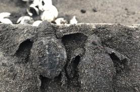 Induk Penyu Makin Menjauhi Pesisir Selatan Tulungagung,…