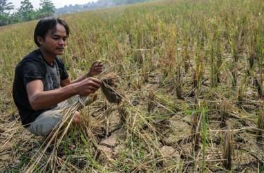 Kekeringan Lahan di Banten Mencapai 15.000 Hektare
