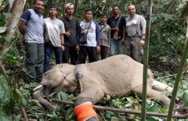 BKSDA Aceh Selamatkan & Obati Gajah yang Terkena Jerat