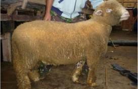 Populasi Domba Batur Khas Banjarnegera Turun 15 Persen per Tahun