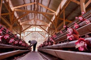Redam Gelojak Harga, Pemerintah Perlu Hitung Kebutuhan Ayam Secara Optimal