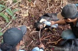 Sedih, Seekor Beruang Madu Mati Terken Jerat, Begini Kondisinya