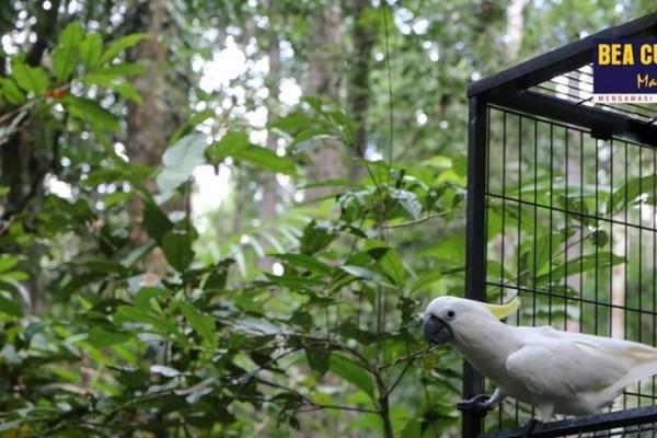 Bea Cukai Sorong Ikuti Pelepasliaran Burung Endemik Papua