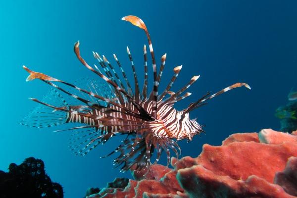 Ikan singa. - en.wikipedia.org